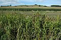 Field of maize, Colways Farm - geograph.org.uk - 1505133.jpg