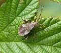 Final Instar Nymph Coreus marginatus - Flickr - gailhampshire (1).jpg