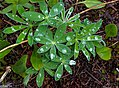 First day of the summer in the Alpine flowers of Sun Peaks...Arctic Lupine (Lupinus arcticus) after a rain shower... (27680261743).jpg