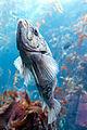 Fish Swimming Up (17543227906).jpg