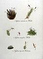 Fissidens spp. — Flora Batava — Volume v9.jpg