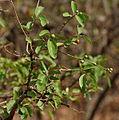 Flacourtia indica fruit in Hyderabad W IMG 7481.jpg