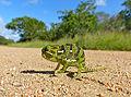 Flap-neck Chameleon (Chamaeleo dilepis) juvenile (13645054565).jpg