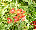 Fleur rouge 3.jpg
