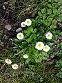 Fleurs de pâquerettes à Grez-Doiceau 001.jpg