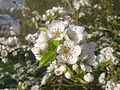 Fleurs de poirier à Grez-Doiceau 007.jpg