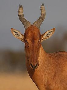 Hartebeest - Wikipedia