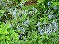 Flickr - brewbooks - Blue flowers with bee - our garden (1).jpg
