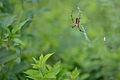 Flickr - ggallice - Orb-weaver spider (1).jpg