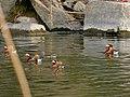 Flock of Aix galericulata in Shonai River - 10.jpg