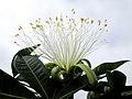 Flor de Castanha do Maranhao ( Bombacopsis glabra).jpg