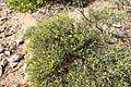 Flora della Sardegna 154 (1).JPG