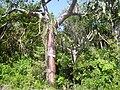 Flora of Cuba 2.JPG