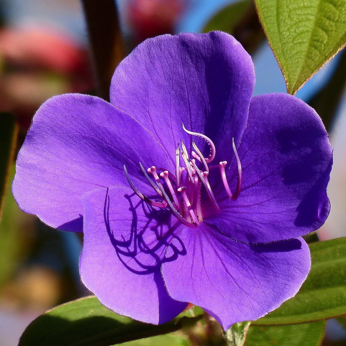 Tibouchina Urvilleana Wikipedia