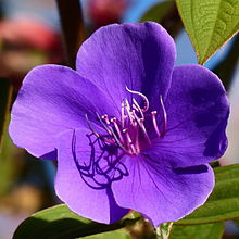 Flower in Horton Plains 1.jpg