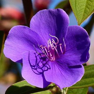 <i>Tibouchina urvilleana</i> Species of flowering plant