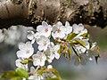 Flower viewing custom, Japan; April 2014 (03).jpg