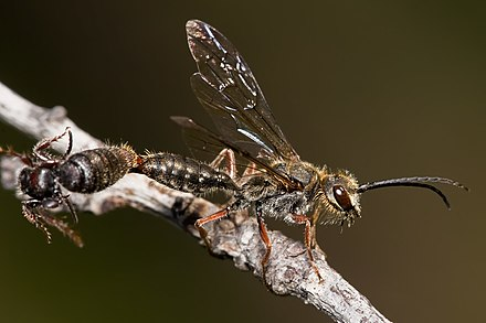 A pair of mating flower wasps: The larger male is approximately 25 mm in length. Flower wasps mating.jpg