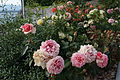 Flowers in the grounds of Auberge du Lion d'Or, Cologny, Geneva, Switzerland - 20140614-02.JPG