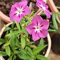 Flowers of phlox drummondii.jpg