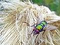 Fly (14981415535).jpg