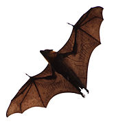 Flying-Fox-Bat.jpg