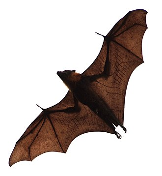 Pteropus - Flying fox in flight