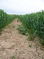 Footpath through a Corn Field - geograph.org.uk - 445203.jpg
