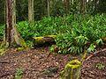 Forest on State Route 19, near Honoka'a, Hawaii (4528916334).jpg
