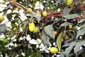 Fortunella margarita 8zz.jpg