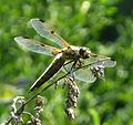 Four -spotted Chaser. Libellula quadrimaculata - Flickr - gailhampshire.jpg