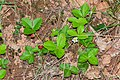 Fragaria vesca in Aveyron (4).jpg