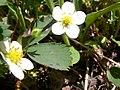 Fragaria virginiana (5069794682).jpg