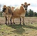 Friendly cows - geograph.org.uk - 1493178.jpg