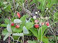 Fruit-left-Fragaria vesca,right-Fragaria viridis.jpg