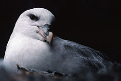 meaning of fulmar