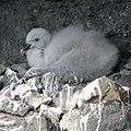 Fulmarus glacialis chick.jpg