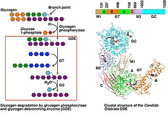 Glycogen debranching enzyme - Image: Function and Structure of Eukaryotic Glycogen Debranching Enzyme
