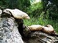 Fungi, Pits Wood - geograph.org.uk - 887938.jpg