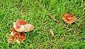 Fungus, Dundrum - geograph.org.uk - 932138.jpg