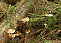 Fungus, Hillsborough Forest 08-9 - geograph.org.uk - 929995.jpg