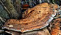 Fungus, Lisburn (7) - geograph.org.uk - 2063040.jpg