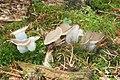 Fungus 1 (Bukovec) (15987308751).jpg