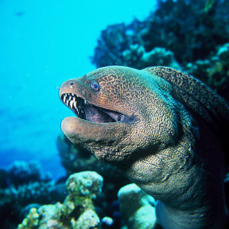 Poisonous fish - Image: G.Javanicus 8