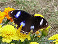 GREAT EGGFLY (6628529645).jpg
