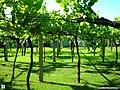 Galician vineyard with wide vine spacing.jpg