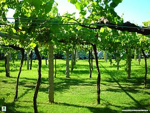 Galician vineyard with wide vine spacing.jpg