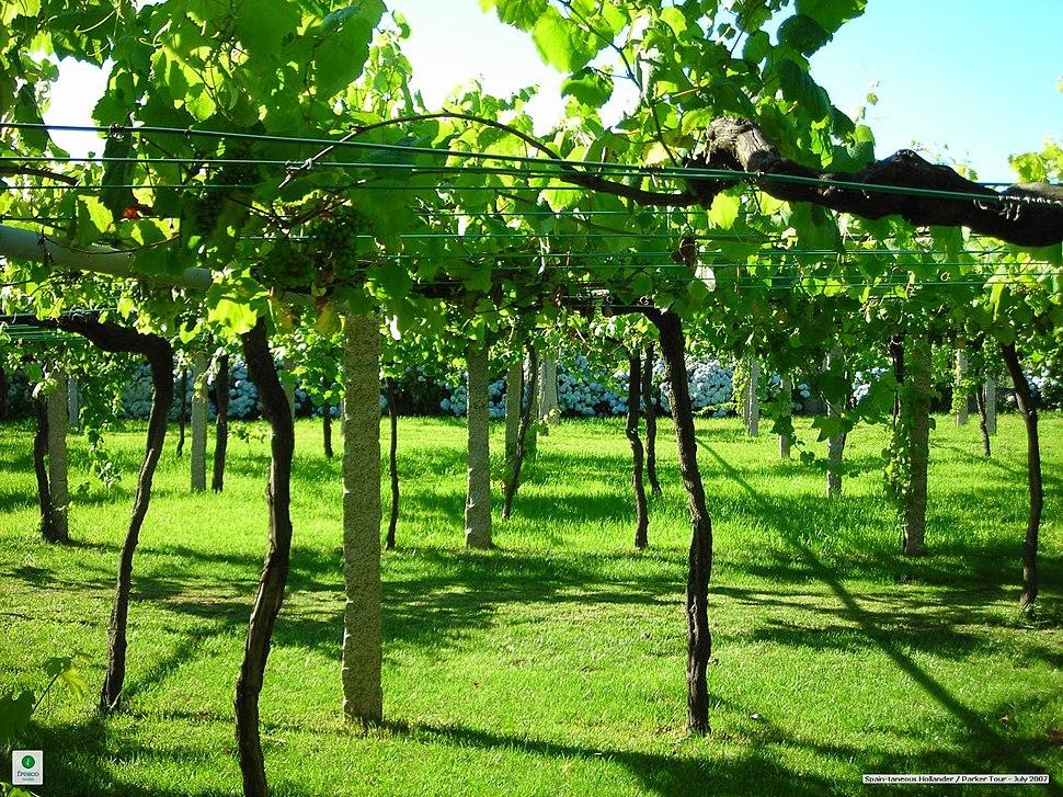 Galician vineyard with wide vine spacing