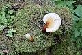 Ganoderma lucidum 77028546.jpg