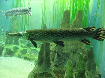Gar at the Shedd Aquarium, Chicago.